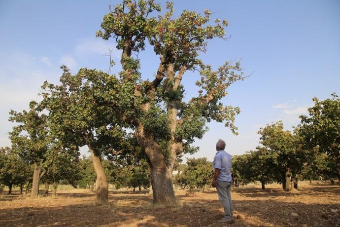600 yıllık fıstık ağaçlarında hasat zamanı