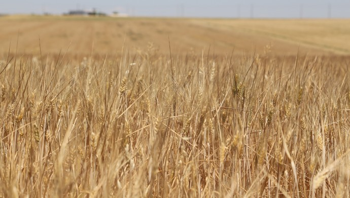 Başaklar kurudu, çiftçi borçlu çıktı
