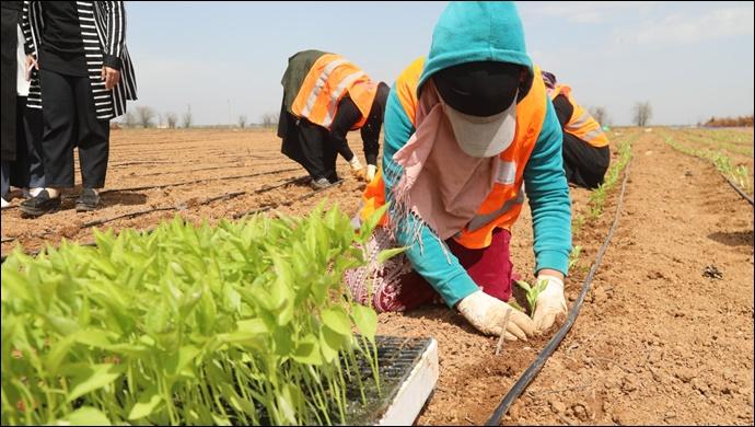 Büyükşehir Yerli Tohumlarla Kendi Biberini Yetiştiriyor-(Video-Haber)