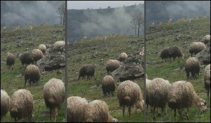 Dersim'de dağ keçileri ve koyun sürüleri bir arada