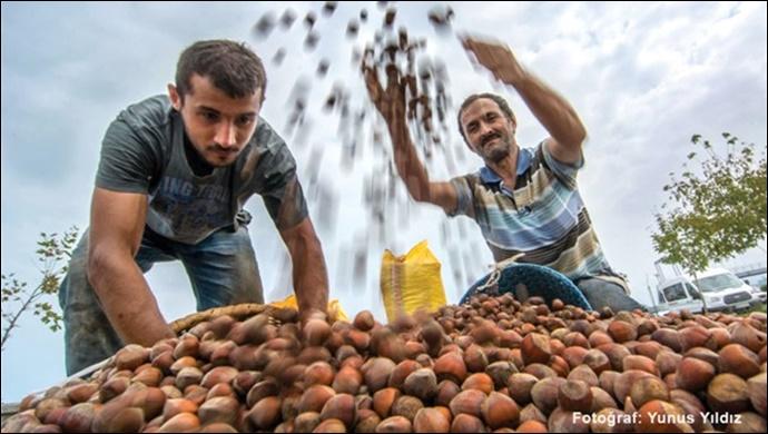 Fındık üretimi, iklim krizinden derinden etkileniyor