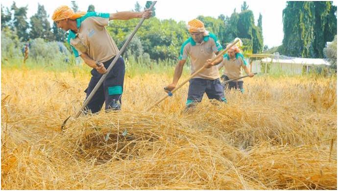 Karakılçık buğdayının hasadına başlandı
