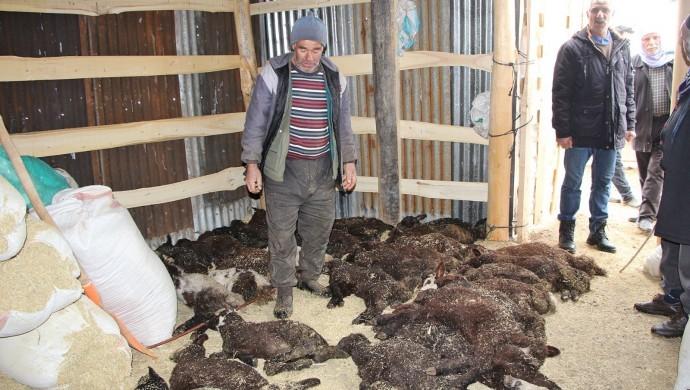 Kullandığı ilaç sonrası kuzularından 95'i can verdi