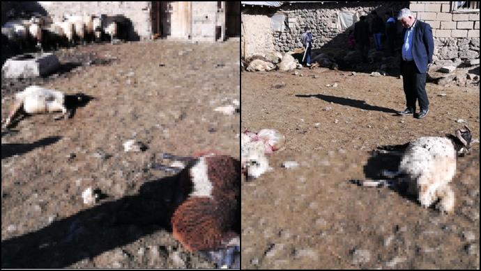 Kurtlar 50 koyunu öldürdü