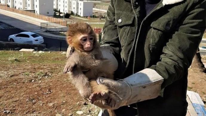 Nesli tükenmekte olan 4 örümcek maymun koruma altına alındı