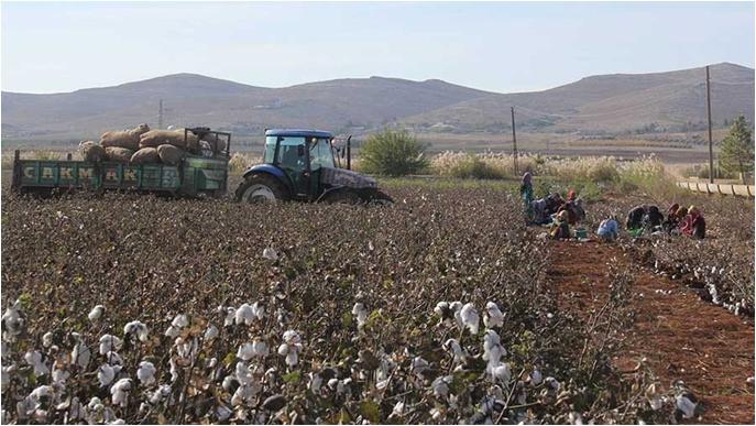 Pamuk tarlasında ucuz işçilik