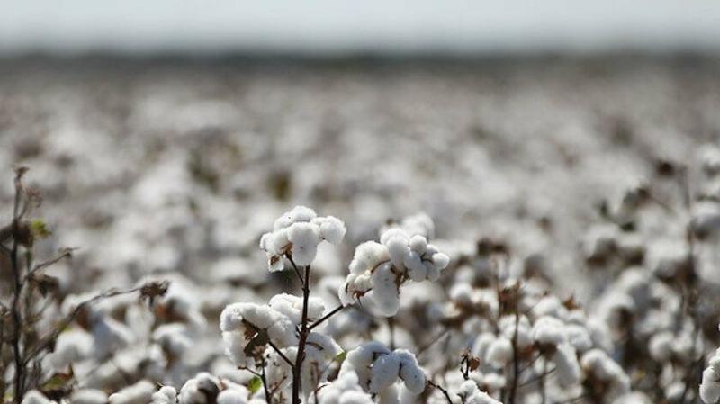 Şanlıurfa'da kütlü pamuk ne kadara satıldı?