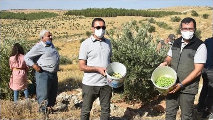 Şanlıurfa'da Zeytin Hasatı Başladı