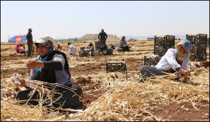 Sarımsak hasadı başladı: Ne yetiştirici ne de işçi memnun