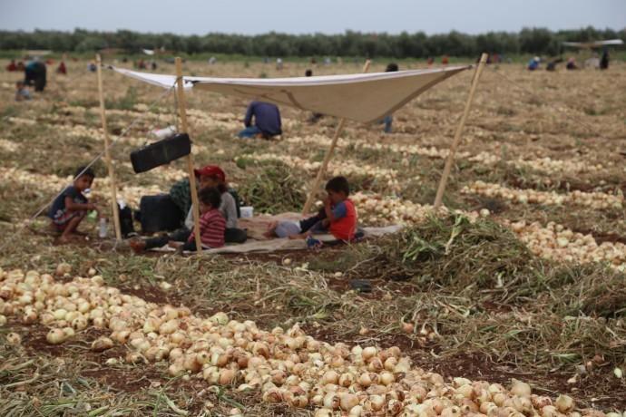 Tarım işçileri: Çalışıyoruz ama bir teneke yağ alamıyoruz-(Fotolu-Haber)