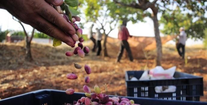 Üreticisinden 15-20 liraya alınan Gaziantep fıstığı 4 katına satılıyor